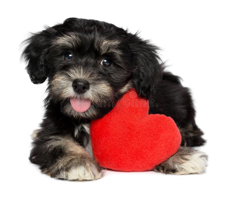 Den vänvalentinHavanese valpen förföljer med en röd hjärta arkivfoton
