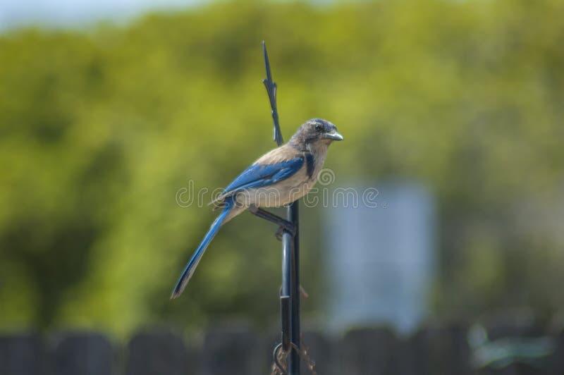 Den västra blåa nötskrikan döljer på sittpinnen i trädgård royaltyfri foto
