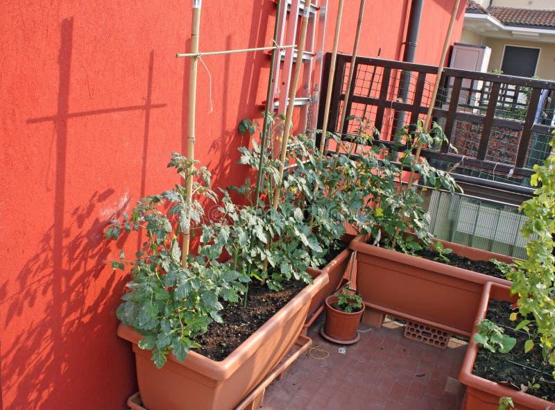den växta balkongen planterar tomaten arkivbild