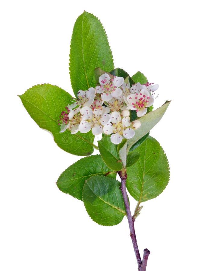 Den vårMaj filialen av att blomstra det lösa häggträdet med den vita lilla blommalodlinjen isolerade royaltyfri fotografi