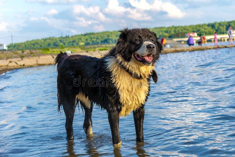 Den våta hunden står i vattnet på en sjö med en suddig bakgrund royaltyfria foton