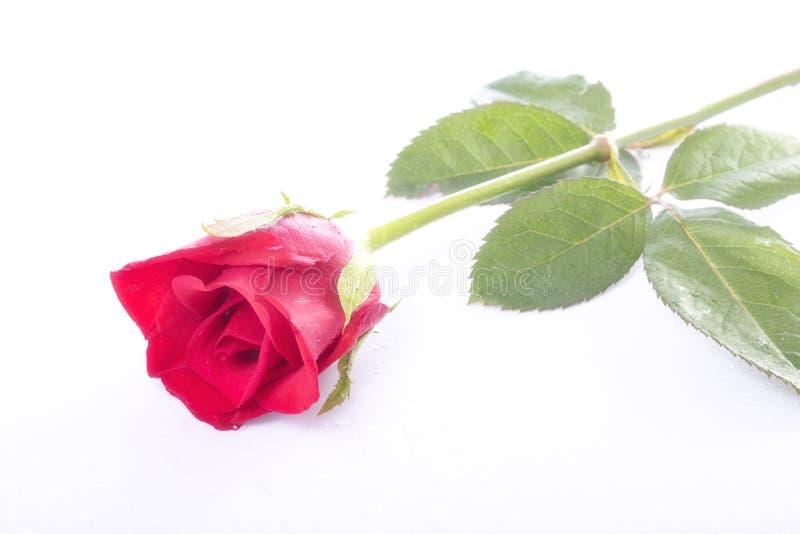 Den våta röda rosen med vattendroppe royaltyfria foton