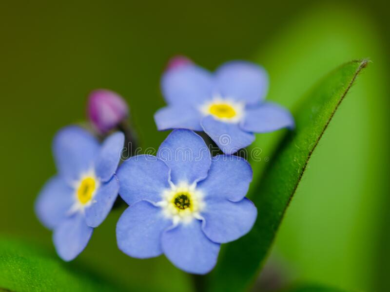 Den vackert blå färgen på en glöd-mig-inte-blomma arkivfoto