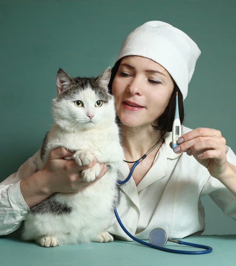 Den veterinär- kvinnan undersöker den siberian katten fotografering för bildbyråer