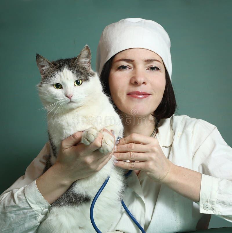 Den veterinär- kvinnan undersöker den siberian katten arkivbilder