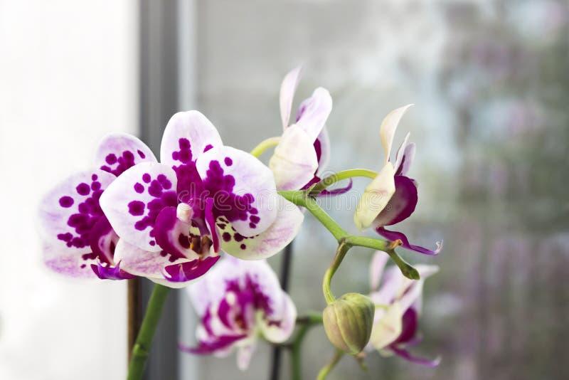 Den vibrerande tropiska lila- och vitorkidén blommar, blom- bakgrund Orkidér på fönstret Härlig hem- bukett av Thailand Orch royaltyfria foton