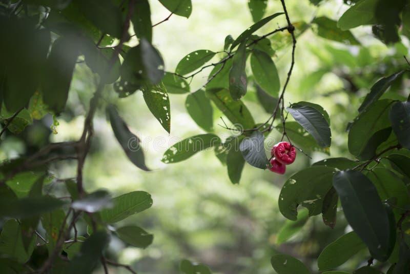 Den vietnamesiska waterapplen eller Syzygiumsamarangensen är en tropisk frukt kallade också vaxäpplet, det Java äpplet, Semarang  arkivbild