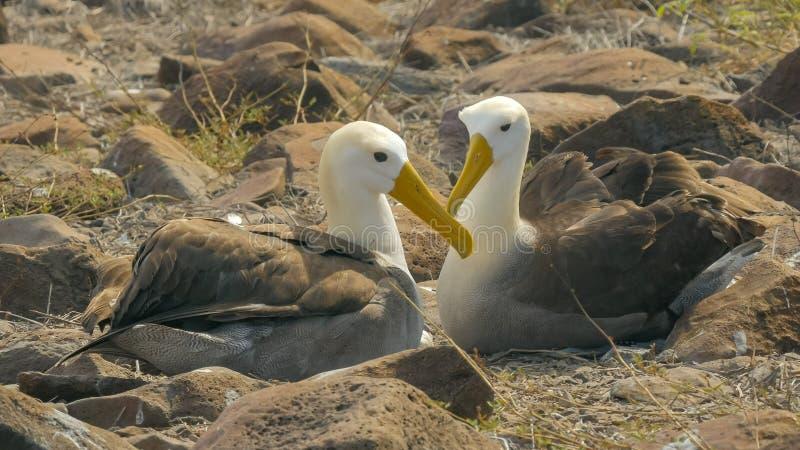 Den vinkade albatrossen i tillgivet poserar med näbb som korsas i galapagosen arkivbild