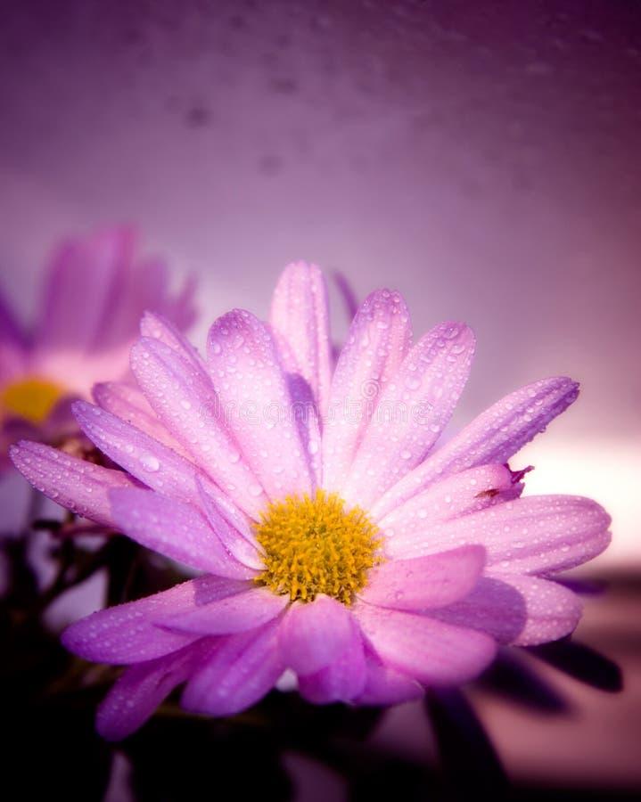 den violetta blomman vätte royaltyfria bilder