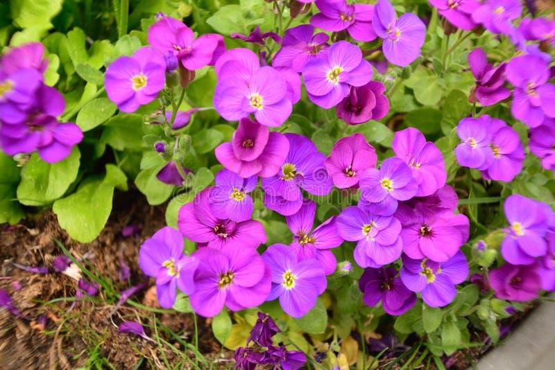 Den violetta härliga blomman i trädgården sken på solen arkivfoto