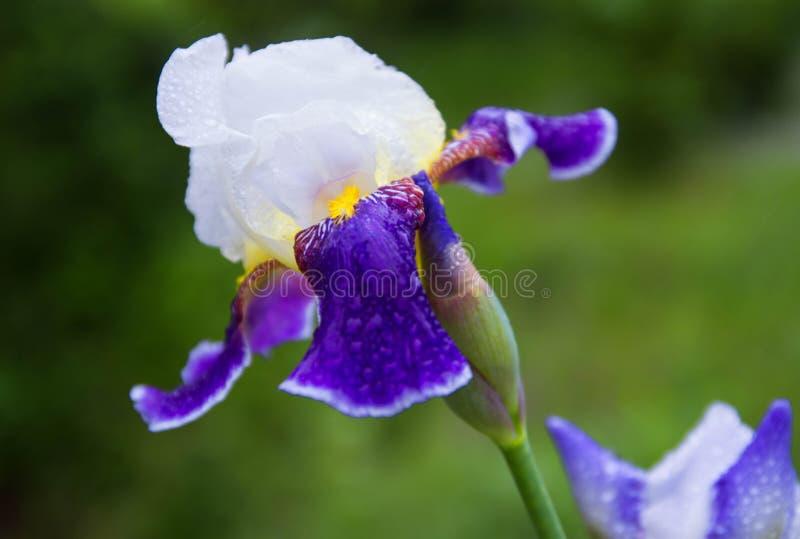Den violetta irisblomman i trädgården, härliga iries blommar på grön naturlig bakgrund royaltyfri foto