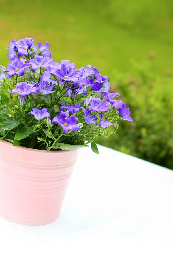 Den violetta klockblomman blommar tätt upp royaltyfri foto