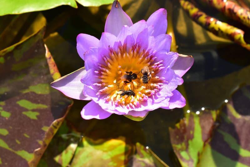 Den violetta och gula nelumboen Nucifera Lotus med biet i vattenpölen royaltyfri fotografi
