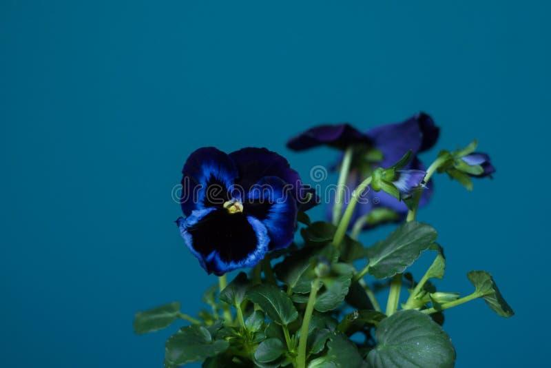Den violetta penséen blommar på påfågelblått, den kricka målade väggen royaltyfria bilder