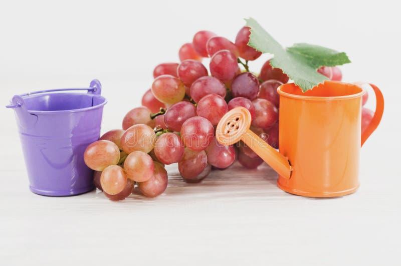 Den violetta tomma metallhinken och orange bevattna lägger in beside av gruppen av nya mogna rosa druvor på gamla trävita plankor arkivbild