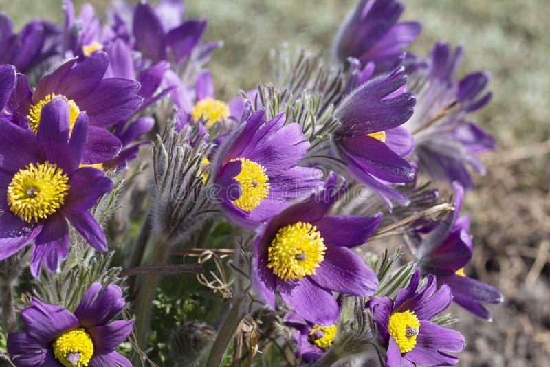 Den violetta våren easter blommar Pulsatillapatens i trädgården royaltyfria bilder