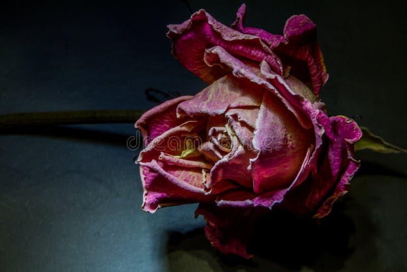 Den vissnade blomman eller steg på stammen med sidor på en beige bakgrund arkivbilder