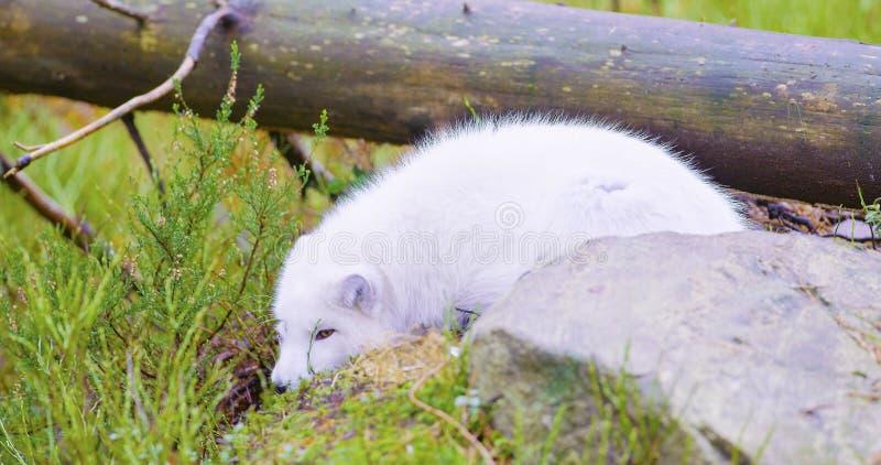 Den vita arktiska räven ligger och vilar på skoggolvet i den sena nedgången royaltyfri foto