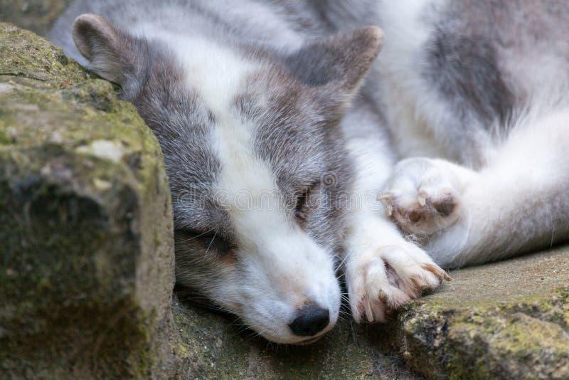 Den vita arktiska räven ligger på stenar royaltyfria bilder