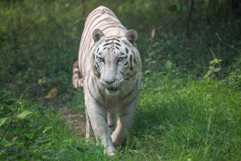 Den vita Bengal tigern går till och med öppen grässlätt royaltyfria foton