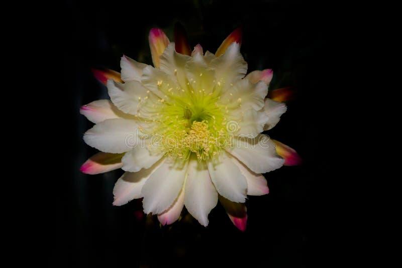 Den vita blomman av kaktuscereusen som blommar på natten arkivfoton
