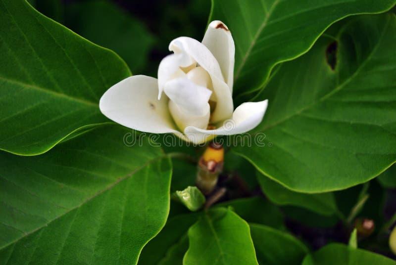 Den vita blomman för magnolian för magnoliasoulangeanatefatet, stänger sig upp den bästa sikten för detaljen, mjukt mörkt - gröna arkivbilder