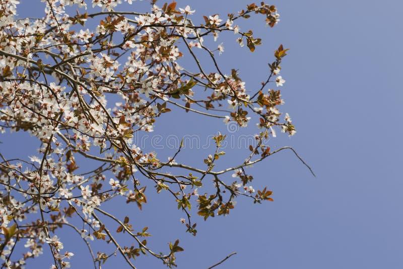 Den vita blomningen för vår mot blå himmel Mandelträd på våren, nya vita blommor på filialen av fruktträdet fotografering för bildbyråer