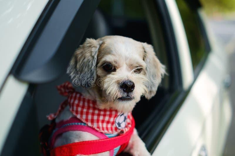 Den vita för den Shih för kort hår hunden tzuen med cutely beklär att se ut ur bilfönstret royaltyfria bilder