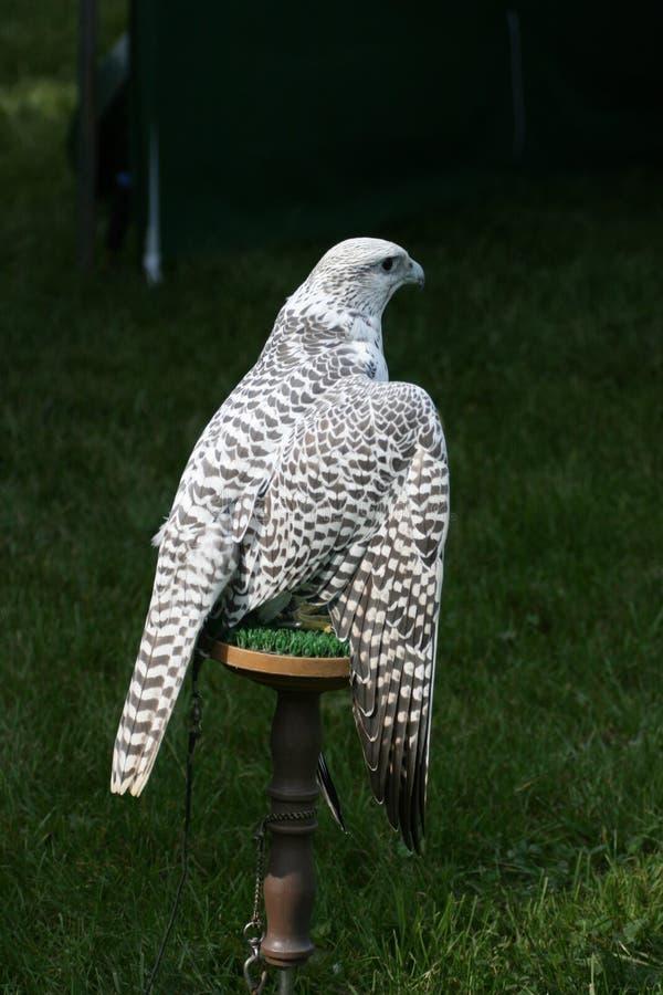 Den vita falken på sittpinnen med vingar öppnar royaltyfri bild