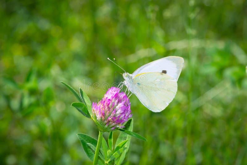 Den vita fjärilen samlar pollen från växt av släktet Trifoliumblomningen arkivbilder