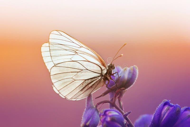 den vita fjärilen sitter på en blå blomma i solig sommardag arkivfoton