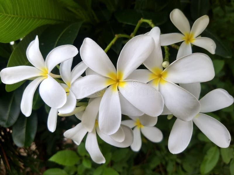 Den vita frangipanien blommar i tr?dg?rd fotografering för bildbyråer