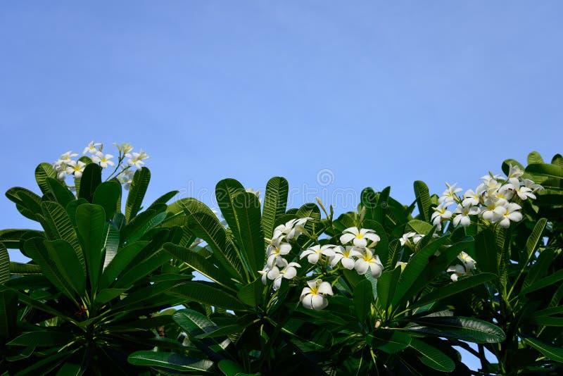 Den vita frangipanien blommar med bakgrund för blå himmel royaltyfri bild
