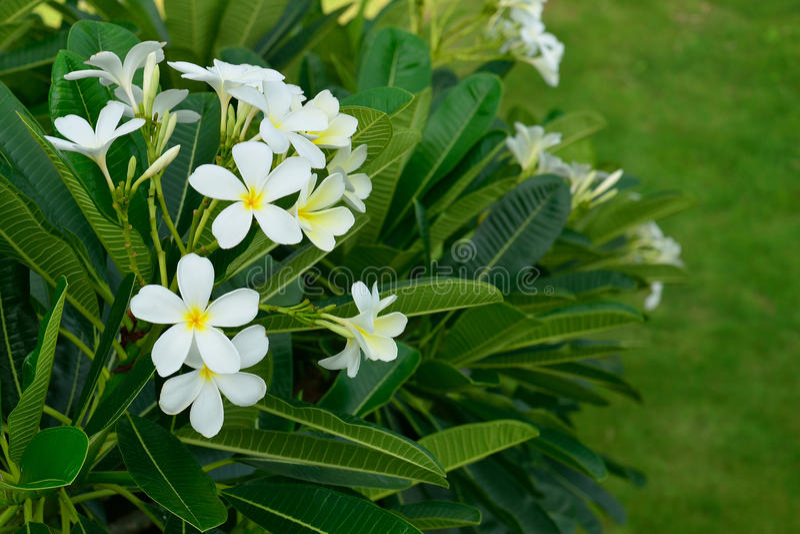 Den vita frangipanien blommar med sidabakgrund arkivbild