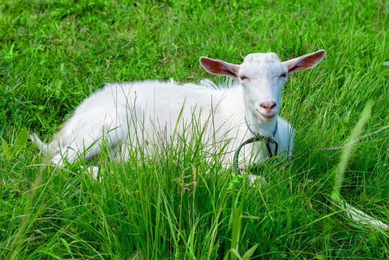 Den vita geten ligger på det gröna gräset lantbruk Boskapavel royaltyfria bilder