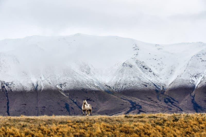 Den vita hästen och snöig maxima near sjön Ohau, Nya Zeeland royaltyfria foton