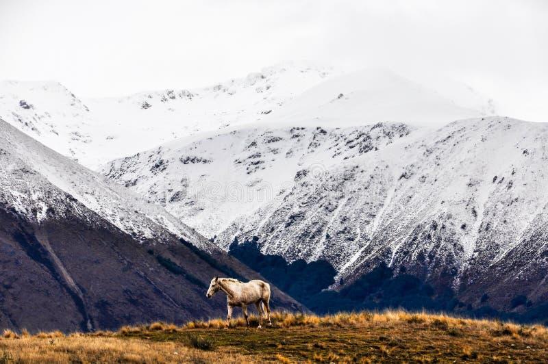 Den vita hästen och snöig maxima near sjön Ohau, Nya Zeeland royaltyfria bilder