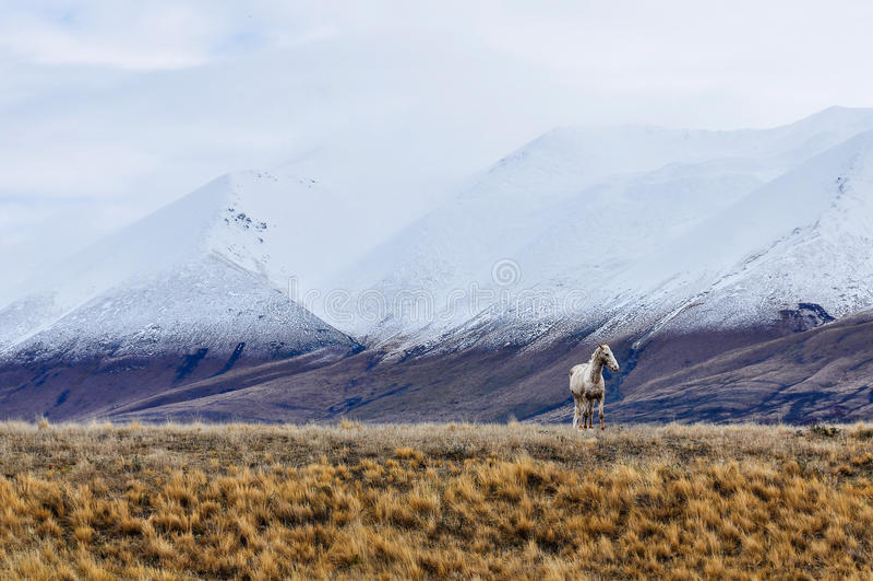 Den vita hästen och snöig maxima near sjön Ohau, Nya Zeeland arkivfoton