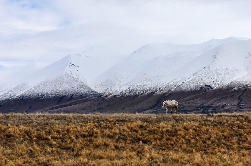 Den vita hästen och snöig maxima near sjön Ohau, Nya Zeeland royaltyfri foto
