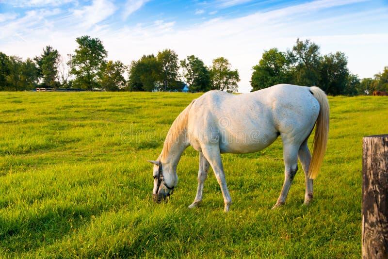 Den vita hästen på gräsplan betar av hästlantgård Landssommarland royaltyfri bild