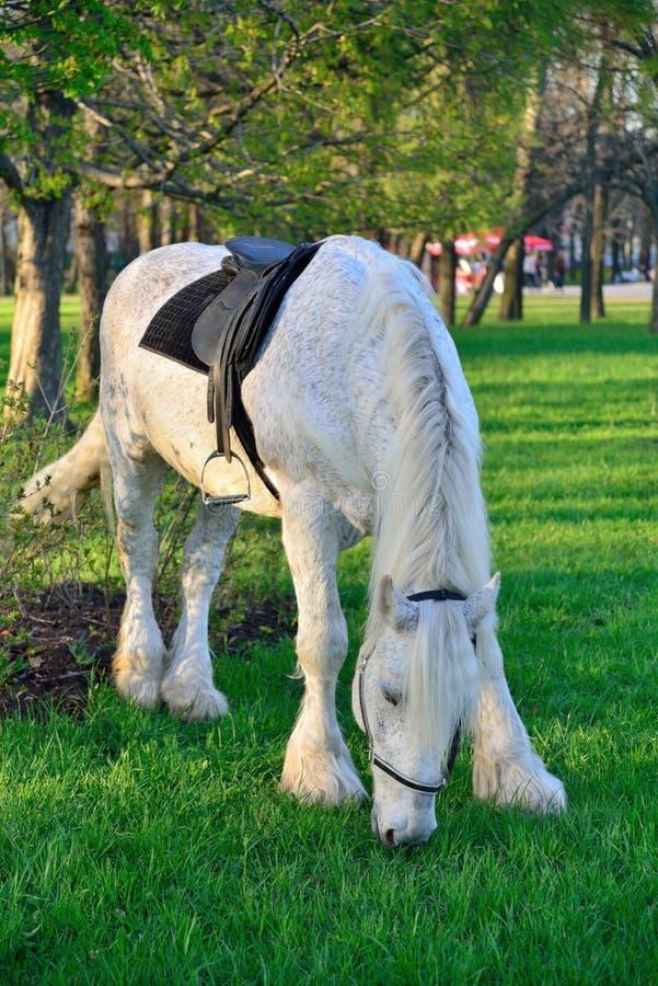 Den vita hästen som betar i staden, parkerar av segern arkivbilder