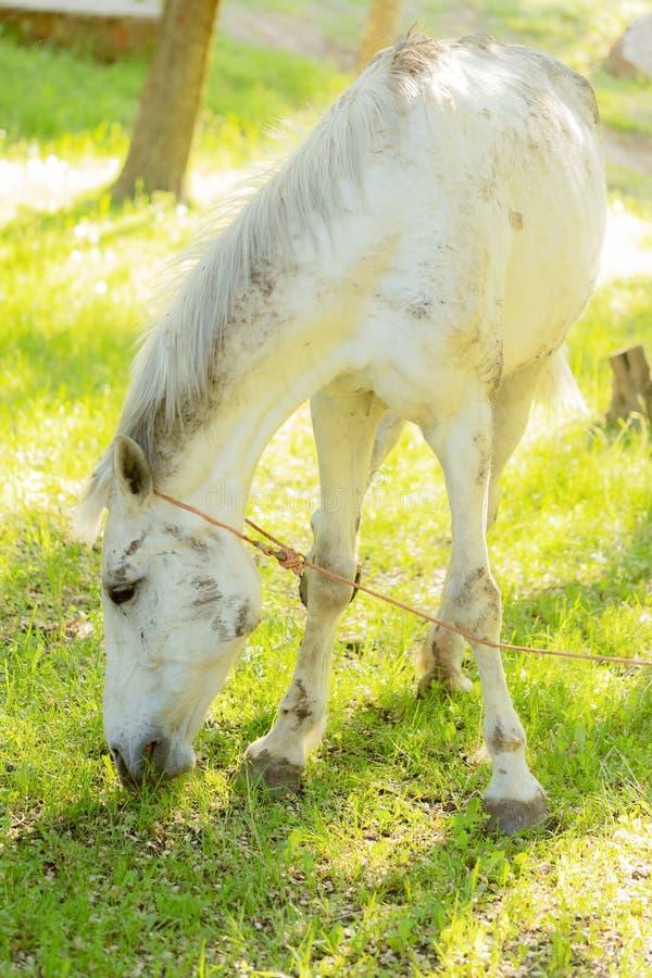 Den vita hästen som betar på en ny gräsplan, betar arkivfoto