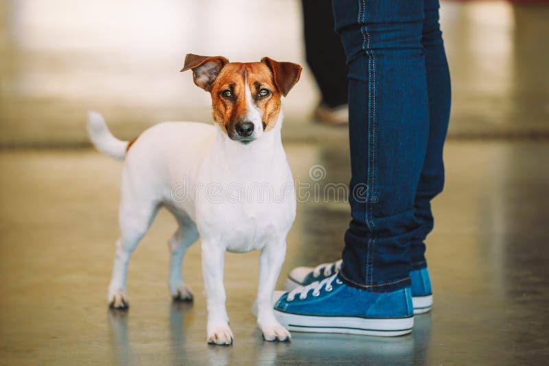 Den vita hunden Jack Russell Terrier är på foten av ägaren Den Jack Russell terriern arkivbild