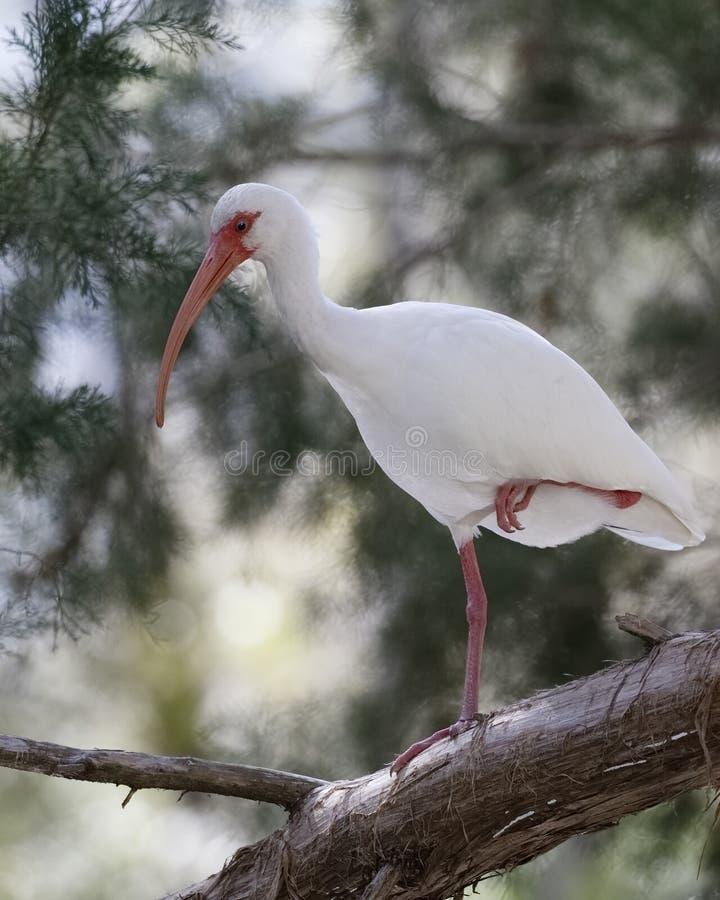 Den vita ibits sätta sig i ett träd - Homosassa, Florida royaltyfri bild
