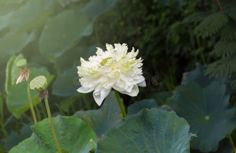 Den vita indierLotus blomningen med det gröna bladet, lotusblommafröskidor och kärnar ur royaltyfria foton