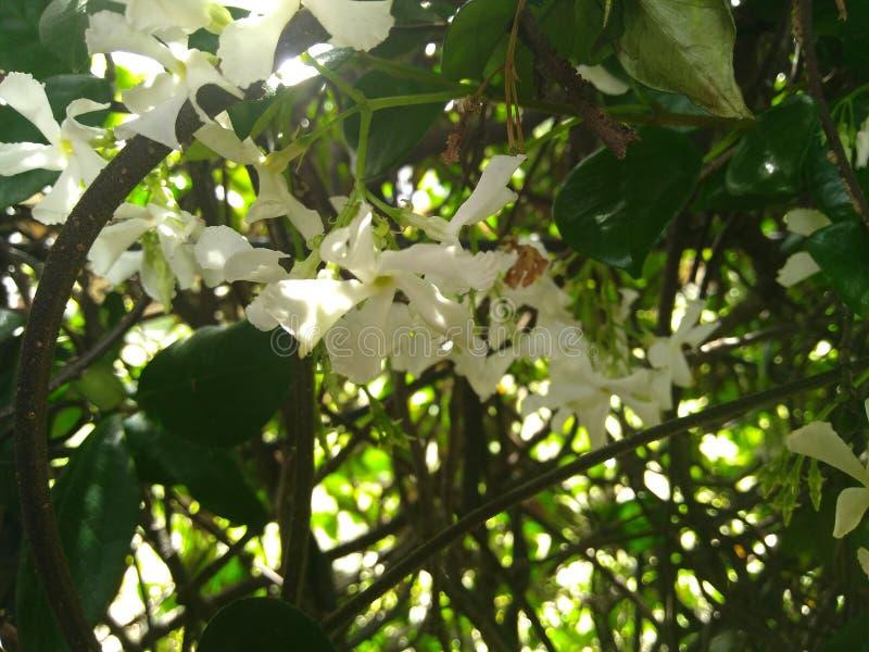 Den vita jasmin blommar med gröna sidor royaltyfria bilder