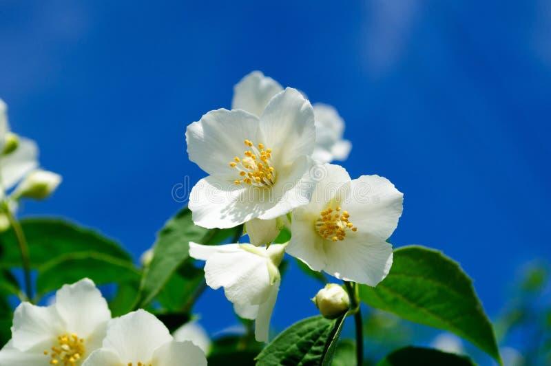 Den vita jasmin blommar på bakgrund för blå himmel royaltyfri bild