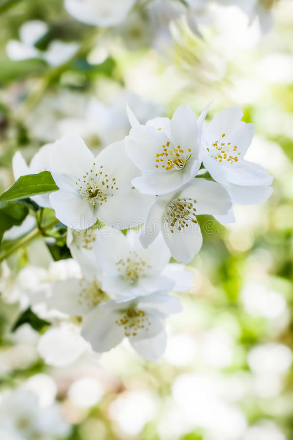 Den vita jasmin blommar på buske i juni royaltyfria foton