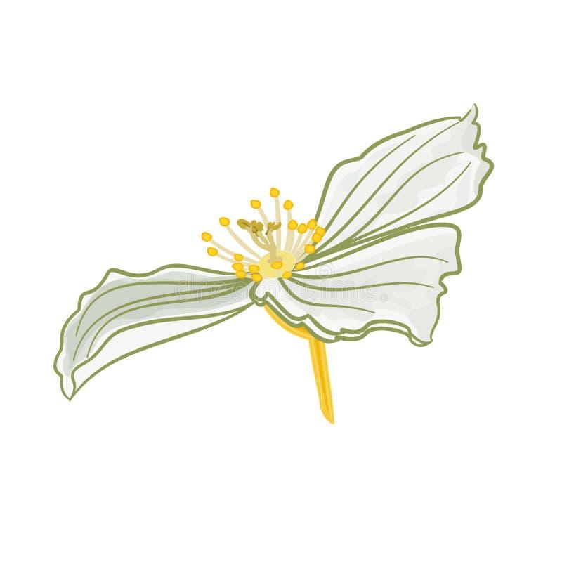 Den vita jasmin blommar vektorn royaltyfri illustrationer