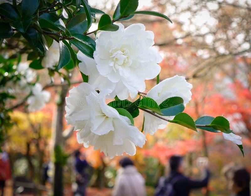 Den vita kamelian blommar att blomma på trädgården royaltyfria bilder